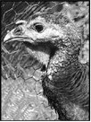 Pet Turkey Killed In Dog Attack