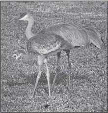 Whoopers And Sandhills:  Wisconsin's Cranes