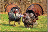 Bonus Harvest Authorizations For Spring  Turkey Season Available Beginning March 15