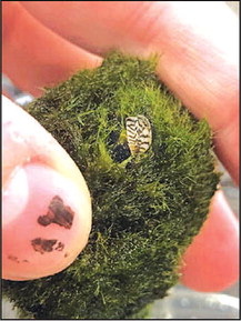 Invasive Zebra Mussels Detected  in Aquarium Moss Balls